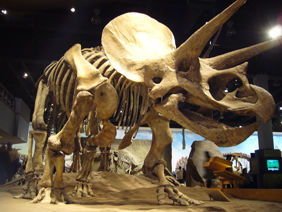 triceratops_skeleton_small